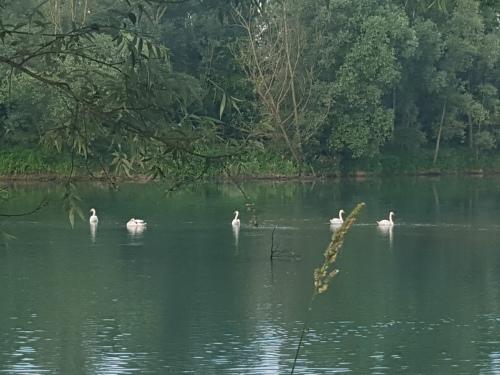 zwanenfamilie in de rivier de Brenta